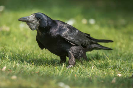 grass close up: Rook, Corvus frugilegus, on the grass, close up