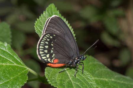 cuba butterfly: Atala butterfly Stock Photo
