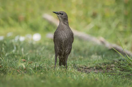 vulgaris: Starling, juvenile, Sturnus vulgaris, on the grass