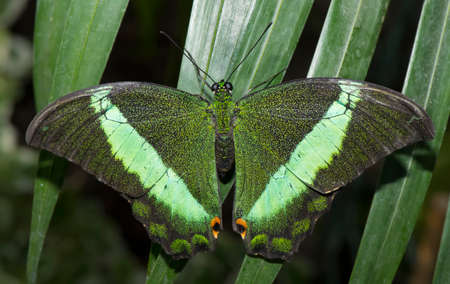lepidoptera: Emerald Swallowtail Butterfly