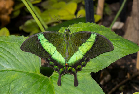 swallowtail: Emerald Swallowtail Butterfly on a leaf Stock Photo
