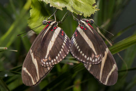 longwing: Zebra longwing, Butterfly on a leaf, coupling Stock Photo