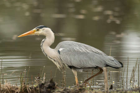 grey heron: Grey Heron standing at the edge of a pond