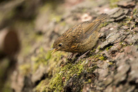 tweeting: Robin redbreast, juvenile, Erithacus rubecula, perched on a tree trunk, tweeting Stock Photo