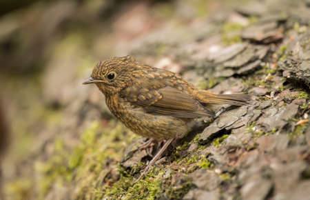 erithacus rubecula: Robin redbreast, juvenile, Erithacus rubecula, perched on a tree trunk Stock Photo
