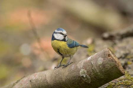 cyanistes: Blue Tit Cyanistes caeruleus, perched on a log