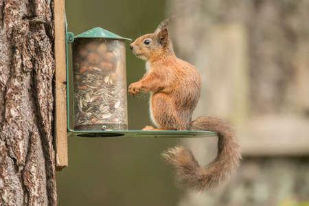 vulgaris: Red squirrel, Sciurus vulgaris, on a squirrel feeder Stock Photo