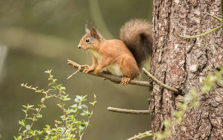 red squirrel: Red squirrel, Sciurus vulgaris, on the branch of a tree
