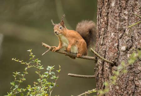 vulgaris: Red squirrel, Sciurus vulgaris, on the branch of a tree