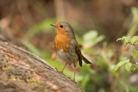 redbreast: Robin redbreast, Erithacus rubecula, perched on a tree trunk