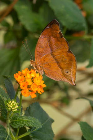 lepidoptera: Autumn Leaf Butterfly