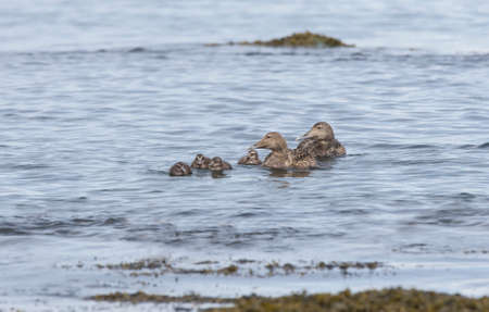 juveniles: Eider duck, females and juveniles swimming in the sea