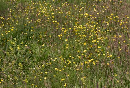 garden cornflowers: A wildflower meadow