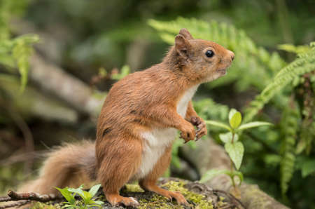 looking around: Red squirrel, Sciurus vulgaris, on a tree trunk looking around