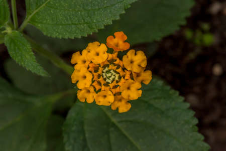 flower close up: Lantana camara flower, close up Stock Photo