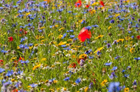cornflour: Wildflower Meadow in the Summertime in Scotland Stock Photo