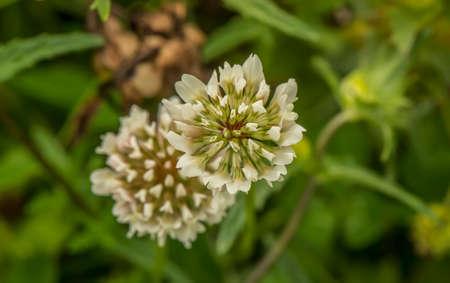 Giant Clover Flower, (Trifolium repens) close up Stock Photo