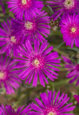 ice plant: Pink, Common ice plant, (Mesembryanthemum crystallinum) flowers, close up