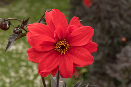 flower close up: Red Dahlia flower, close up Stock Photo