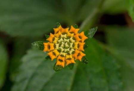 lantana camara: Lantana camara flower, close up Stock Photo