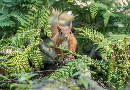 peeping: Red squirrel, Sciurus vulgaris, on a tree trunk, peeping through some leaves