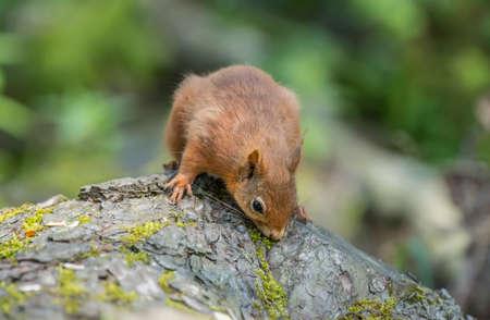 red squirrel: Red squirrel, Sciurus vulgaris, on a tree trunk, sniffing