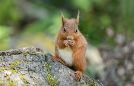 red squirrel: Red squirrel, Sciurus vulgaris, on a tree trunk, eating a nut Stock Photo
