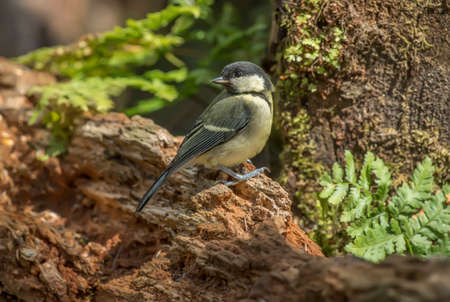 parus major: Great tit, juvenile, Parus major perched on a tree trunk in a forest