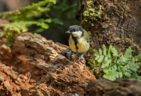 parus: Great tit, juvenile, Parus major perched on a tree trunk in a forest