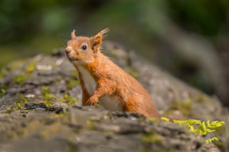red squirrel: Red squirrel, Sciurus vulgaris, on a tree trunk Stock Photo