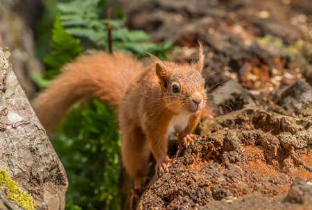 vulgaris: Red squirrel, Sciurus vulgaris, on a tree trunk Stock Photo