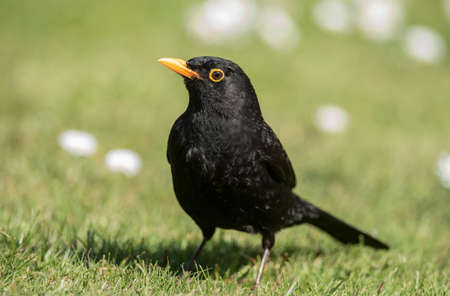 the ornithology: Blackbird perched on the grass, close up