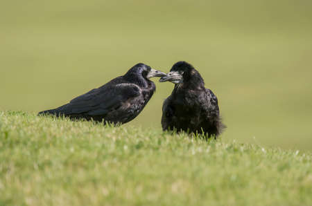 Pair of Rooks, Corvus frugilegus, on the grass Stock Photo
