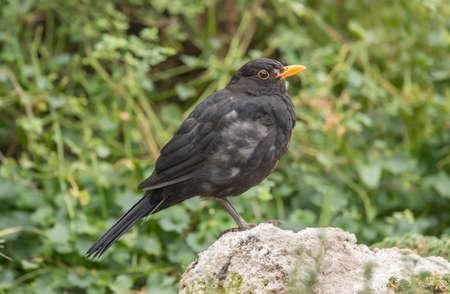 turdus: Blackbird perched on a rock, close up