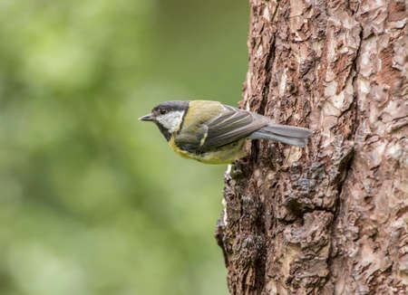 parus major: Great tit, Parus major, perched on the side of a tree trunk in a forest