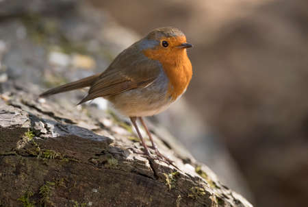 erithacus rubecula: Robin perched on a tree trunk, close up