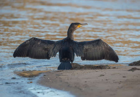 seabird: Cormorant standing on the shoreline, close up