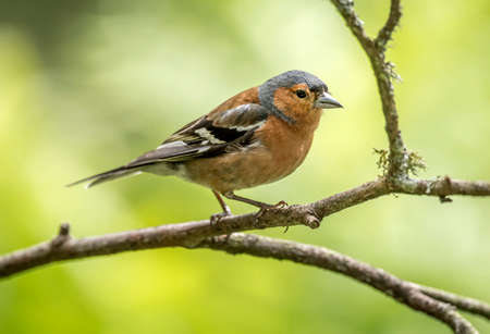 Chaffinch male, perched on a branch in a forest Stock Photo