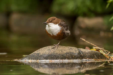 the ornithology: Dipper perched on one leg on a rock by a stream