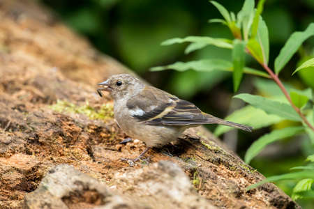 Chaffinch female perched on a tree trunk in a forest