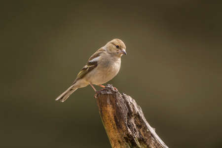 Chaffinch female perched on a branch in a forest