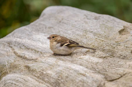 tweeting: Chaffinch female perched on a stone tweeting