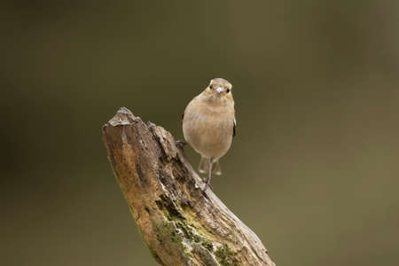 Chaffinch female, perched on a branch in a forest