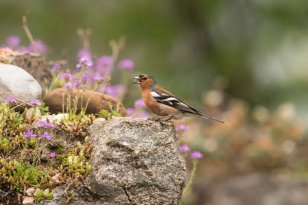 Chaffinch male, perched on a rock in a garden