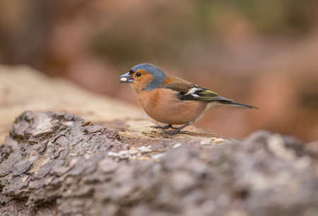 Chaffinch male, perched on a tree trunk in a forest