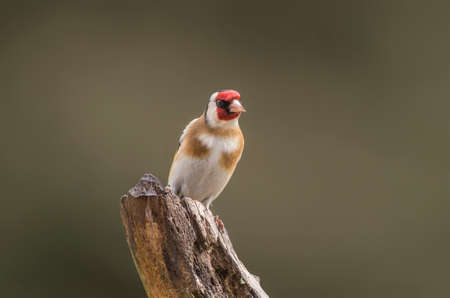 goldfinch: Goldfinch perched on a branch in a forest Stock Photo