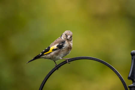 juveniles: Goldfinch juvenile, perched on a feeder in a garden Stock Photo