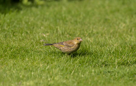 Greenfinch juvenile, perched on the grass, in a garden