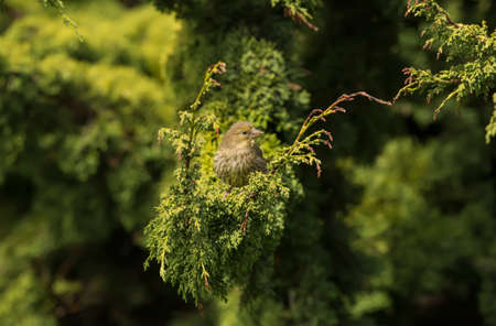 perched: Greenfinch juvenile, perched in a bush