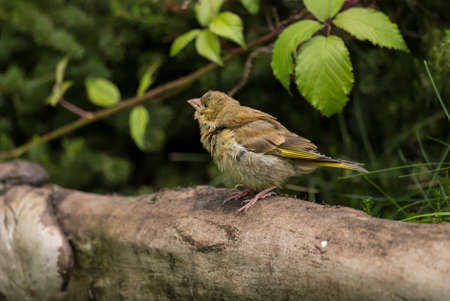 Greenfinch juvenile,  perched on a log in a garden